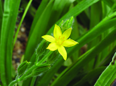 The African Potato flower - the African Potato extract of the corm of the plant which is the underground stem.
