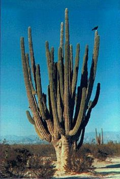 All About the Cardon Cactus