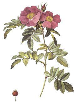 Rosa Lucida.jpg (493×679) Pierre-Joseph Redoute, Les Roses, The Rosarian Homepage, The Garden Web