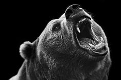 Grizzly by Troy Moth, on Behance