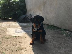 Rottweiler puppy #3monthsold Rottweiler Puppies, Dogs, Animals, Animais, Animales, Animaux, Pet Dogs, Doggies, Animal