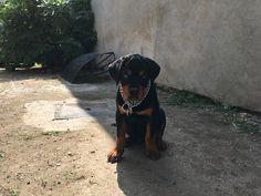 Rottweiler puppy #3monthsold