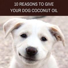 10 Reasons To Give Your Dog Coconut Oil – Skinny & Co. Coconut Oil