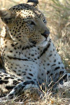 Leopard_Botswana by worldbigcatsafaris on Flickr.