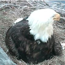 EagleCam gives viewers a live look at newly hatched eaglets!