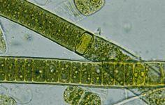Cyanophyta