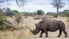 Del rinoceronte de java sólo quedan 60 ejemplares (shutterstock)