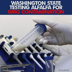 WA State Testing Alfalfa For GMO Contamination. More Here: http://www.righttoknow-gmo.org/news/exclusive-washington-state-testing-alfalfa-gmo-contamination