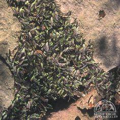 "Leptinella squalida 'Platt's Black' -a great ""filler inner"" for rock paths"