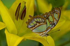 The Malachite Butterfly on yellow lily, Siproeta stelene, photograph by Darrell Gulin