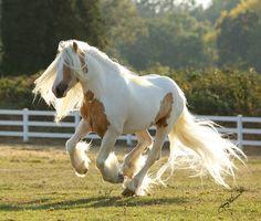 Dragonfire, a rare palomino tobiano pinto Gypsy Vanner horse stallion