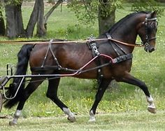 """RD Kohav - This chocolate bay Hackney stallion has achieved Championship Status with the The American Hackney Horse Society and AHHS Foundation. Kohav competes in both training level Ridden dressage and Combined Driving. Most impressively """"Brio"""" won 2009 & 2010 USEF Hackney Horse of the Year."""