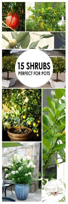 Container Gardening, Shrubs for Container Gardening, Plants to Grow in Containers, Shrubs for Pots, Shrubs to Grow in Pots, How to Grow Shrubs, Gardening Tips and Tricks, Container Gardening Hacks, How to Container Garden, Popular Gardening Pin #gardenshrubsbackyards #gardenshrubsfence