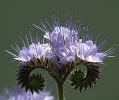 This is called a Phacelia Tanacetifolia  - photo by arjuna_zbycho