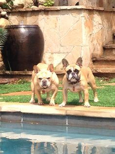Montague & Francesca, two very Spoiled French Bulldogs.