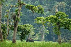 elephant in the forest / Gabon