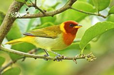 Foto saíra-ferrugem (Hemithraupis ruficapilla) por Ana Gadini | Wiki Aves - A Enciclopédia das Aves do Brasil