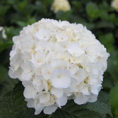 Hydrangea White 20 Flowers