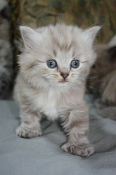 58 Best Polydactyl cats images | Hemingway cats, Dog cat ...  58 Best Polydac...