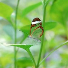 Espejitos - Glass wing butterfly