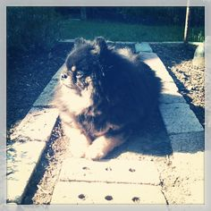 @ploughyourownfurrows photo - cordelia resting in the sunny garden