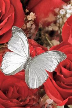 white butterfly; red roses