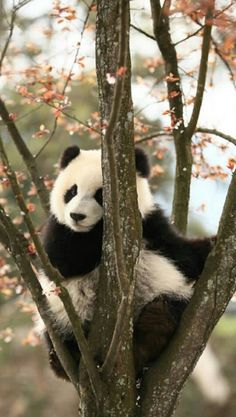 Information about types of pandas that exist in the world. Not only that, you can find fun facts about giant pandas and red pandas too. Cute Wild Animals, Animals Beautiful, Animals And Pets, Funny Animals, Nature Animals, Photo Panda, Panda Facts, Panda Mignon, Niedlicher Panda