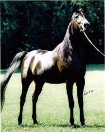 Chelima (Haziz Halim x Chelsea HF) (1994 – 2009)