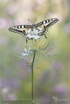 Schwalbenschwanz by iseichenberger #nature #photooftheday #amazing #picoftheday