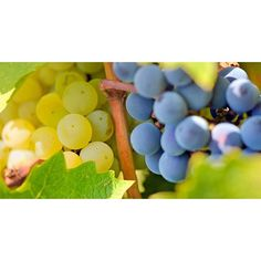 Blue and yellow #grapes in the vineyard #Pictures #Food #vineyard - Dollar Stock Images - http://kozzi.tv/WwMtm