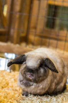RIP October 20, 2014.  Amber was rescued from an animal broker who bought and sold rabbits and other farm animals for food.