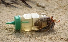 Poor hermit crab can't find a shell. :c