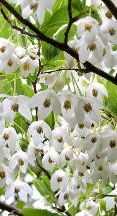 Anese Snowbell Styrax Onicus A Small And Graceful Tree With Glossy Leaves That Turn