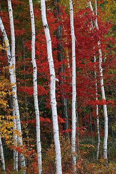 Birch trees in red Autumn Lights, Tree Paintings, Birch Trees, Nature Tree, Fall Pictures, Patterns In Nature, Real Beauty, Photo Canvas, Forests