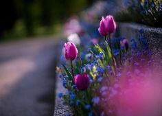 Rabatka, Tulipany, Niezapominajki, Rozmyte, Tło, Makro