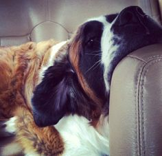 #Saint #Bernards will always take over the leather couch!