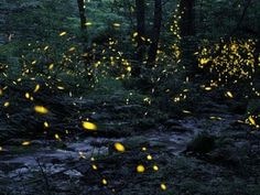 Tennessee fireflies: A summertime light show - YouTube Lightning bugs to me..Going to go next year in June 6-13 Gatlinburg TN