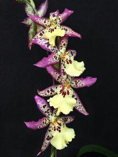 ALICEARA Aliceara, en el comercio, es un notogénero de híbrido integenérico entre los géneros de orquídeas Brassia, Miltonia y Oncidium