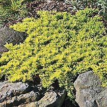 Shoal Creek Chaste Tree Vitex Agnus Castus Michigan Bulb Landscaping A Slope Spring Hill Nursery Shrubs