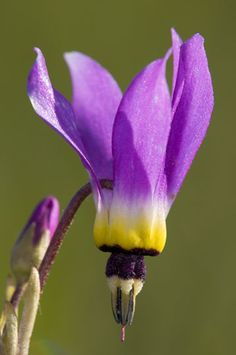 Shooting star flower, very cool.  I've only seen the pink shooting stars. Love them...