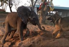 Ellie The Baby Elephant Was Left To Die By His Herd, But An Unlikely Friendship With A Dog Saved His Life.