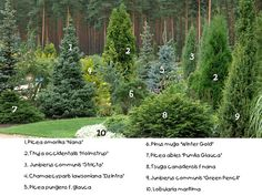 Conifer pyramid shape photo by onlymyflo Evergreen Landscape, Front Garden Landscape, Evergreen Garden, Garden Shrubs, Landscape Plans, Landscape Design, Garden Design, Arborvitae Landscaping, Privacy Landscaping