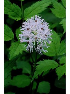 """Actaea rubra (Red baneberry) - part sun - 18"""" - blooms in May"""