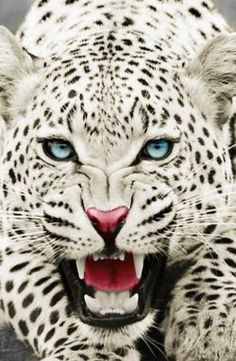 Snow Leopards, Snow Leopard Pictures, Snow Leopard Facts – Tattoos And Animals Colorful Animals, Nature Animals, Animals And Pets, Cute Animals, Wild Animals, Draw Animals, Snow Leopard Pictures, Animal Pictures, Photos Of Animals