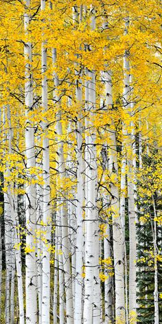 Aspen Trees, Crested Butte, Colorado - beautiful! Spent my honeymoon here <3