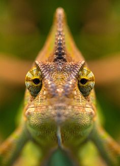 eros-addict: earth-song:Chameleon by Feasul-Oniisama Monday face… Nature Animals, Animals And Pets, Funny Animals, Cute Animals, Cute Reptiles, Reptiles And Amphibians, Kiss The Frog, Chameleon Lizard, Earth Song