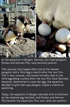 Penguins adopt too