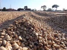 Coffee farming, drying coffee grains, El Salvador