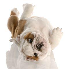 english bulldog puppy rolling