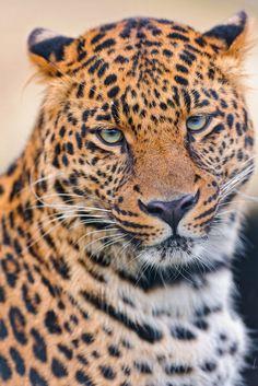 Portrait of Pädy (by Tambako the Jaguar)